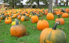 Hunt for perfect pumpkin