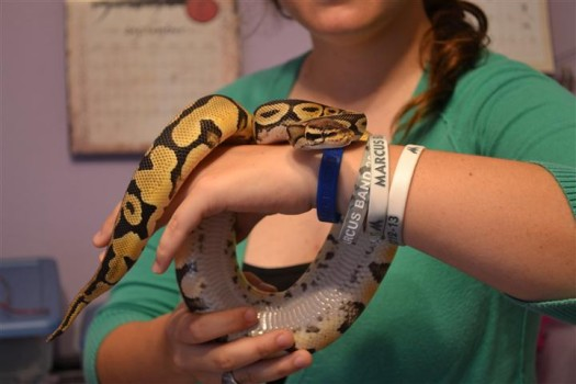 Junior Angela Hoffman holds one of her ball python snakes. She owns eight of them as pets in her home. Snake breeding is one her hobbies that earns her extra pocket money.