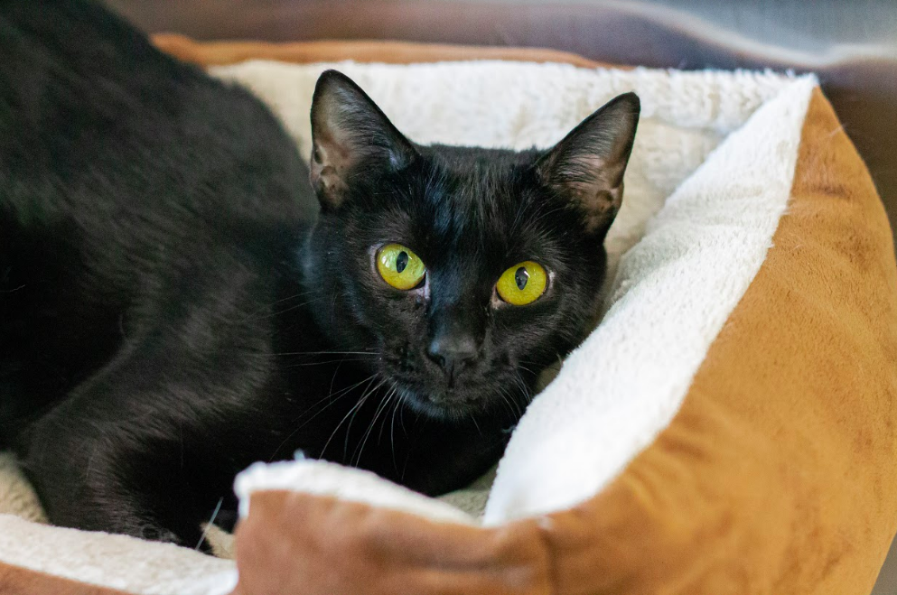 Daliah can be shy at first, but once she opens up to people, she likes to lay back and be pet for hours.