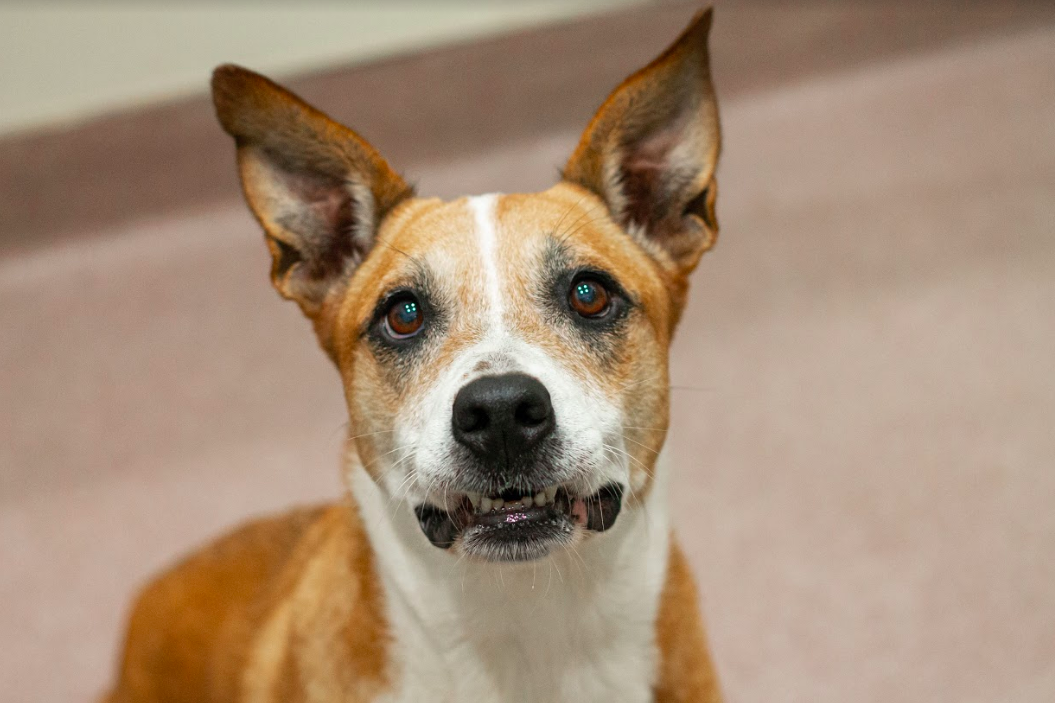 Shelby is shy, but she quickly warms up to people. Once she's comfortable, Shelby will ask for pets and treats.