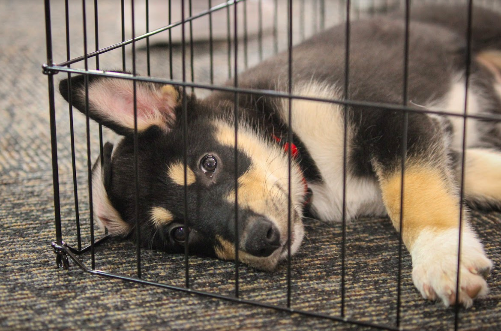 The puppies that visited in September were kept in a playpen on the floor of the library, where students could easily reach out to pet them and play. However, the huskies coming to campus tomorrow morning are younger and therefore more fragile than those that visited earlier this year, so they will likely be kept behind the desk unless they are being held.